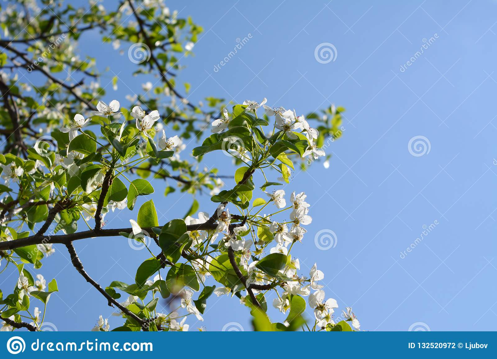 Blooming pear tree. Branches with beautiful flowers against clear blue sky.