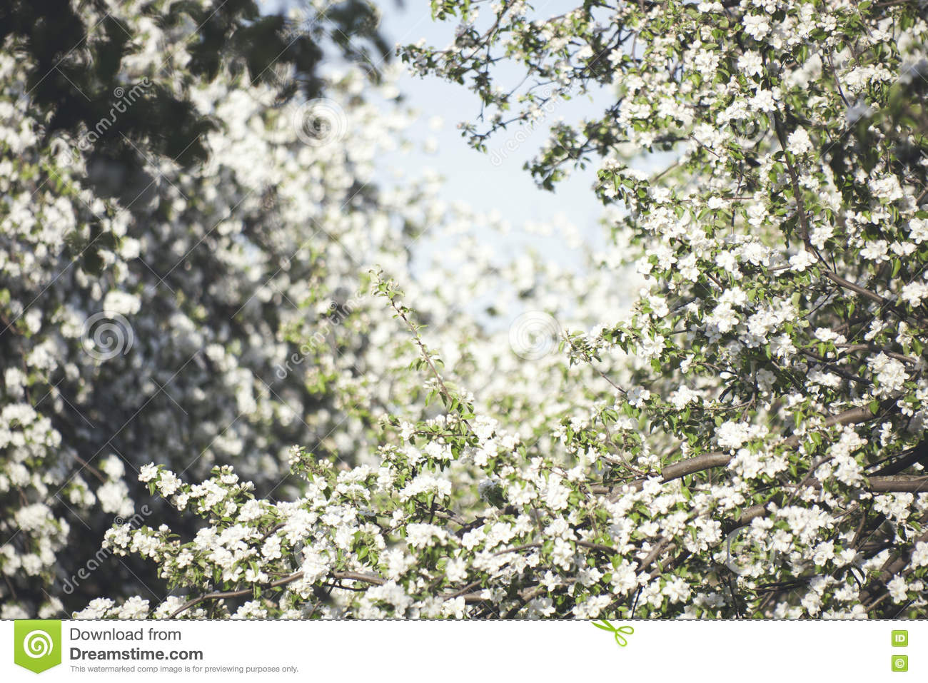 Blooming Pear Tree Garden Stock Image Image Of Nature 71615687