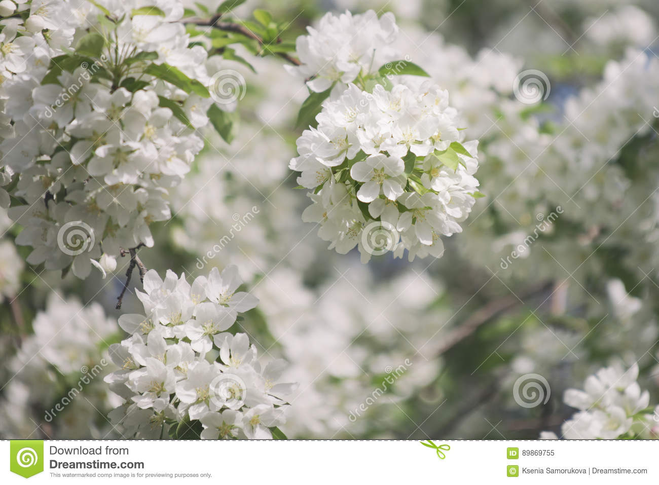 Blooming Pear Tree White Flowers Stock Image Image Of Bloom
