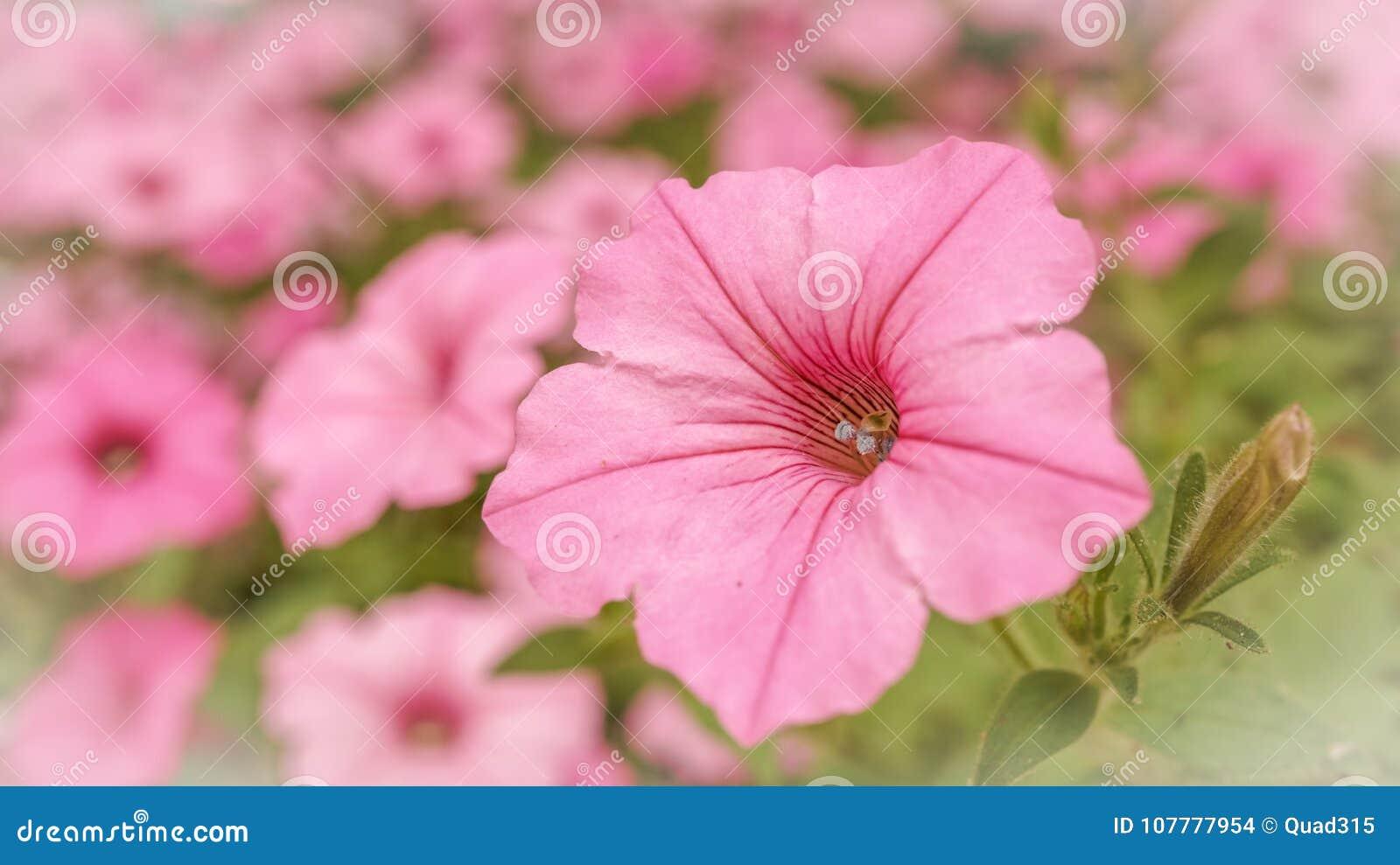 Field Of Pink In A Flower Garden Stock Photo Image Of Pollen