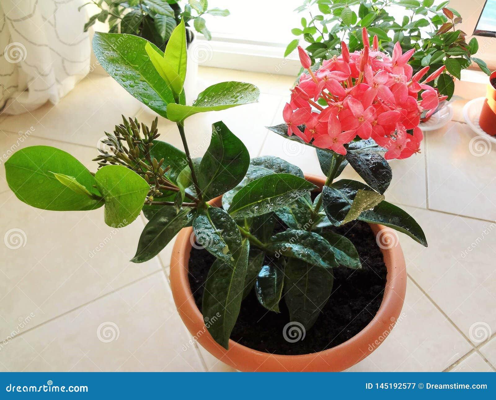 Amazing blooming pink ixora tropical evergreen shrub in pot