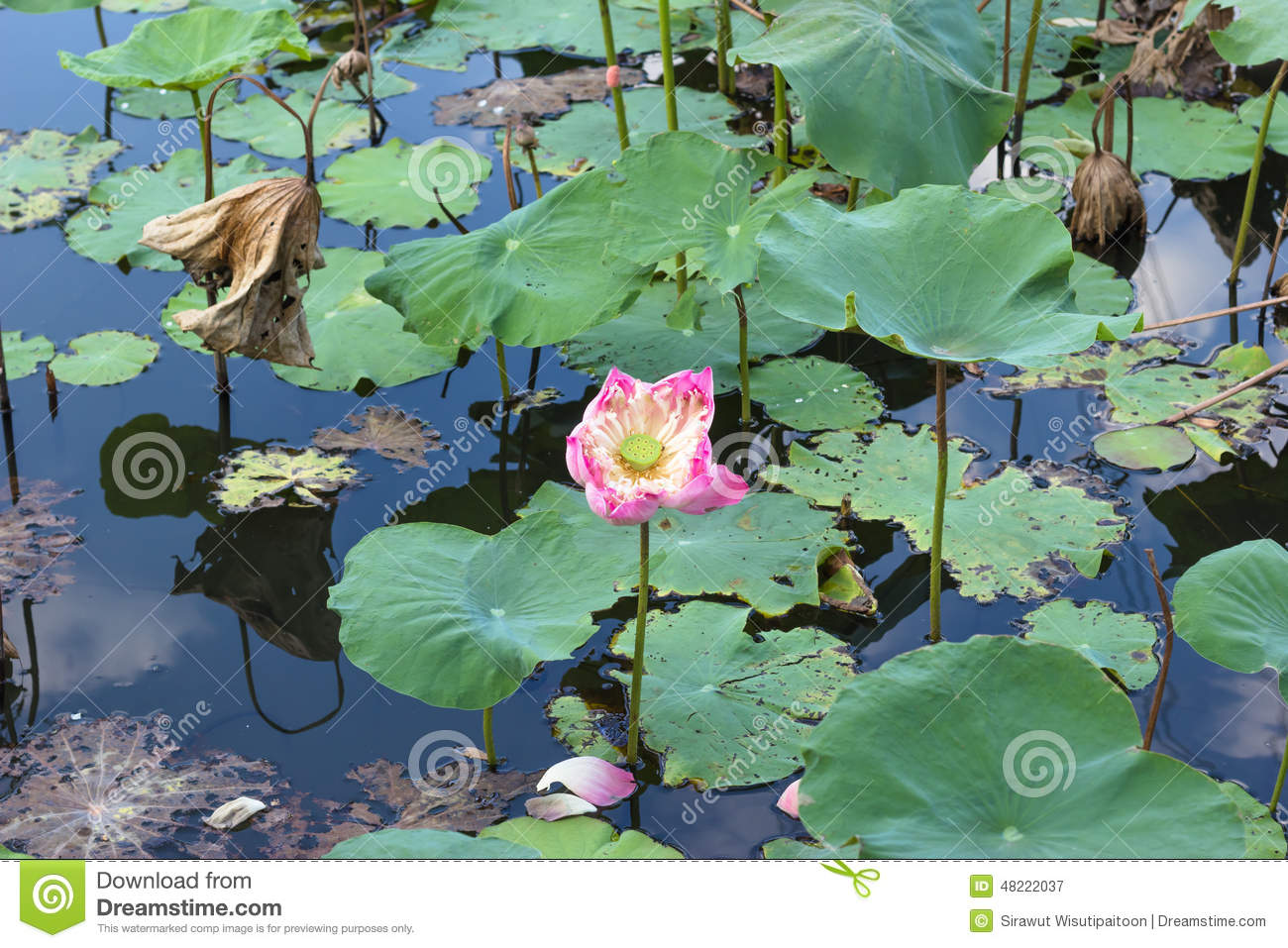 Blooming Pink Lotus Flower And Its Seed Pod Stock Image Image Of