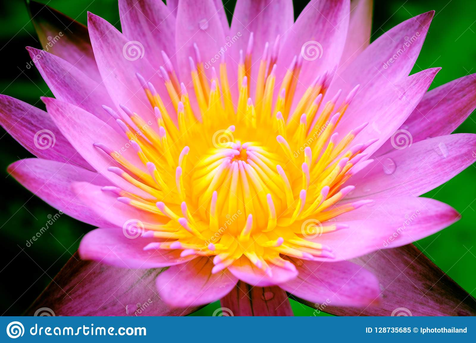 A Blooming Pink Lotus Flower Natural Background Lotus Leaf Lily