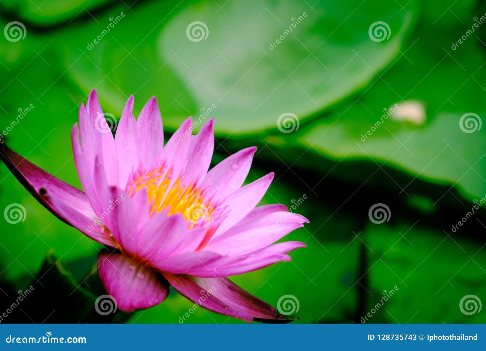 A Blooming Pink Lotus Flower Natural Background Lotus Leaf Lily