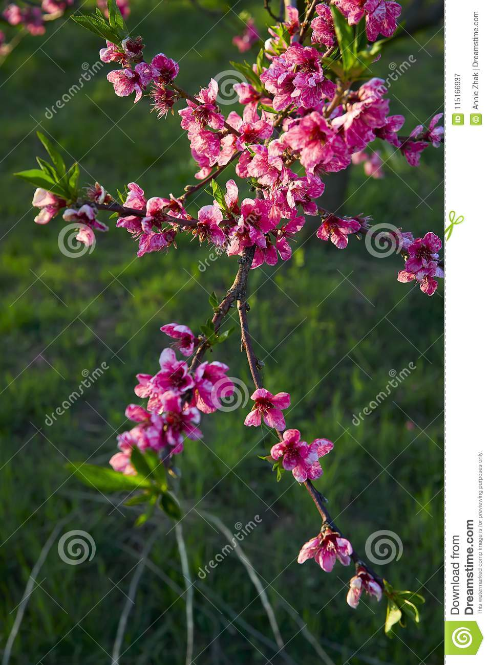 Blooming pink peach blossoms on tree stick with green background in the beginning of spring.