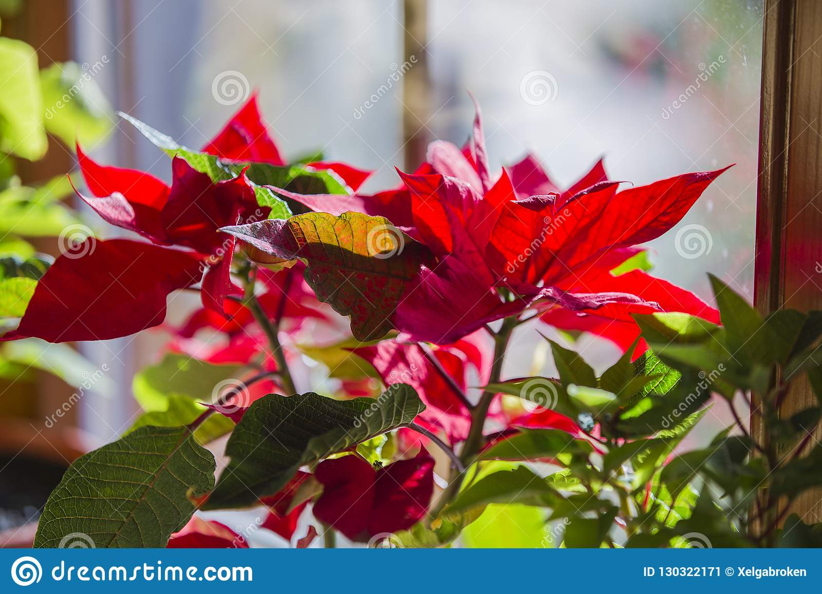 Blooming Poinsettia on window, Christmas Star beautiful red flower