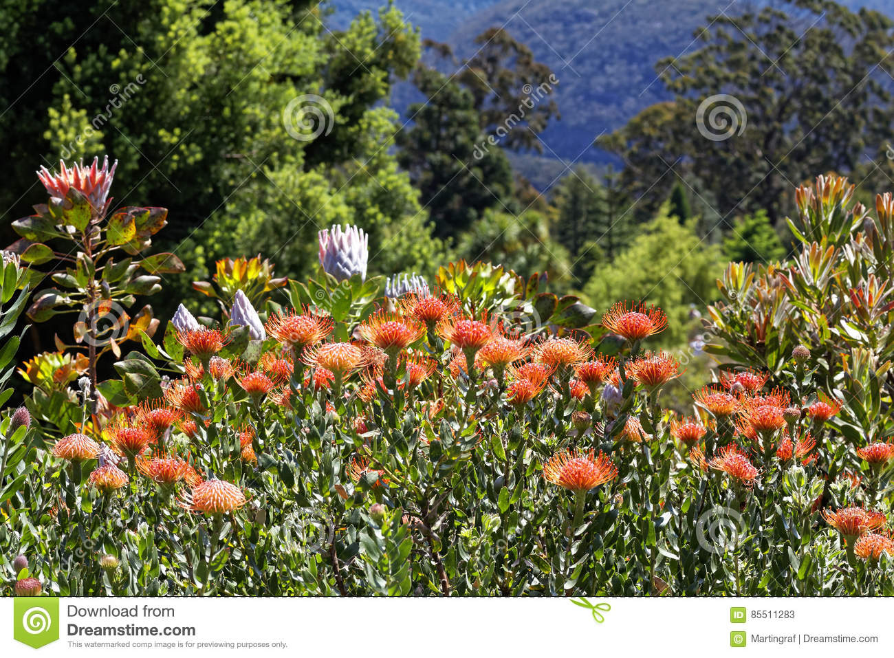 Blooming Proteas Colorful In Garden Stock Image Image Of