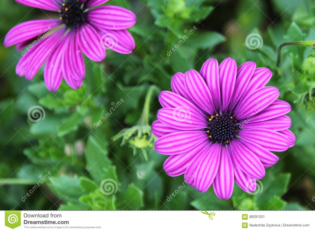 Blooming purple african daisy flowers on the meadow stock image blooming purple african daisy flowers on the meadow izmirmasajfo
