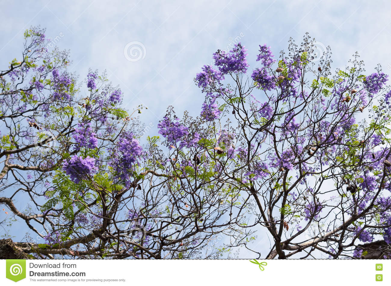 Blooming with purple flowers jacaranda tree branches against blu blooming with purple flowers jacaranda tree branches against blu izmirmasajfo
