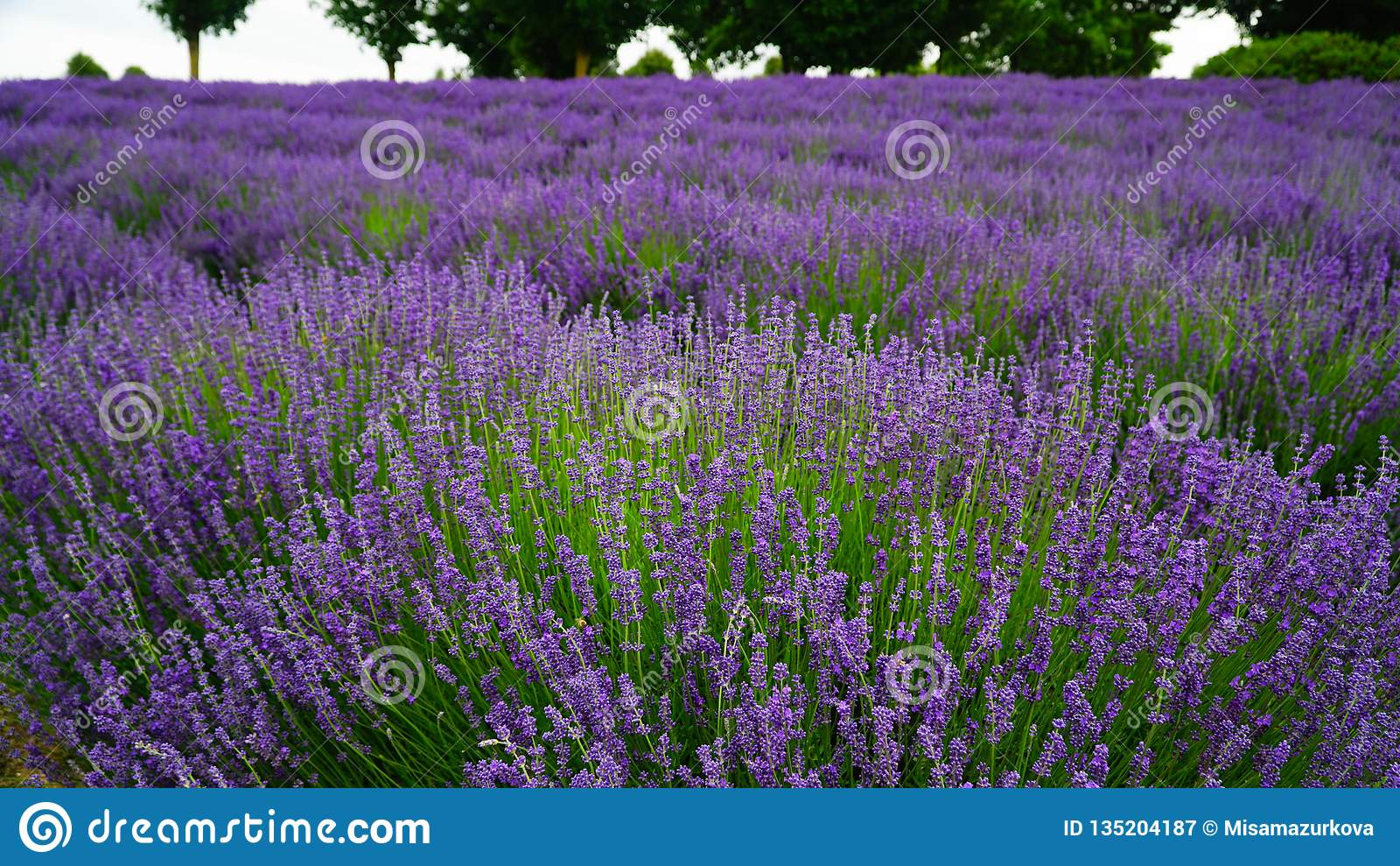 Blooming purple lavender plant in Lavender farm, New Zealand