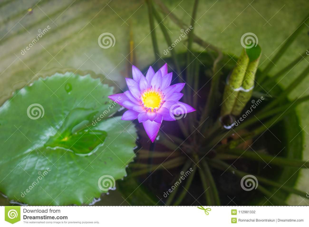 Blooming purple lotus flower