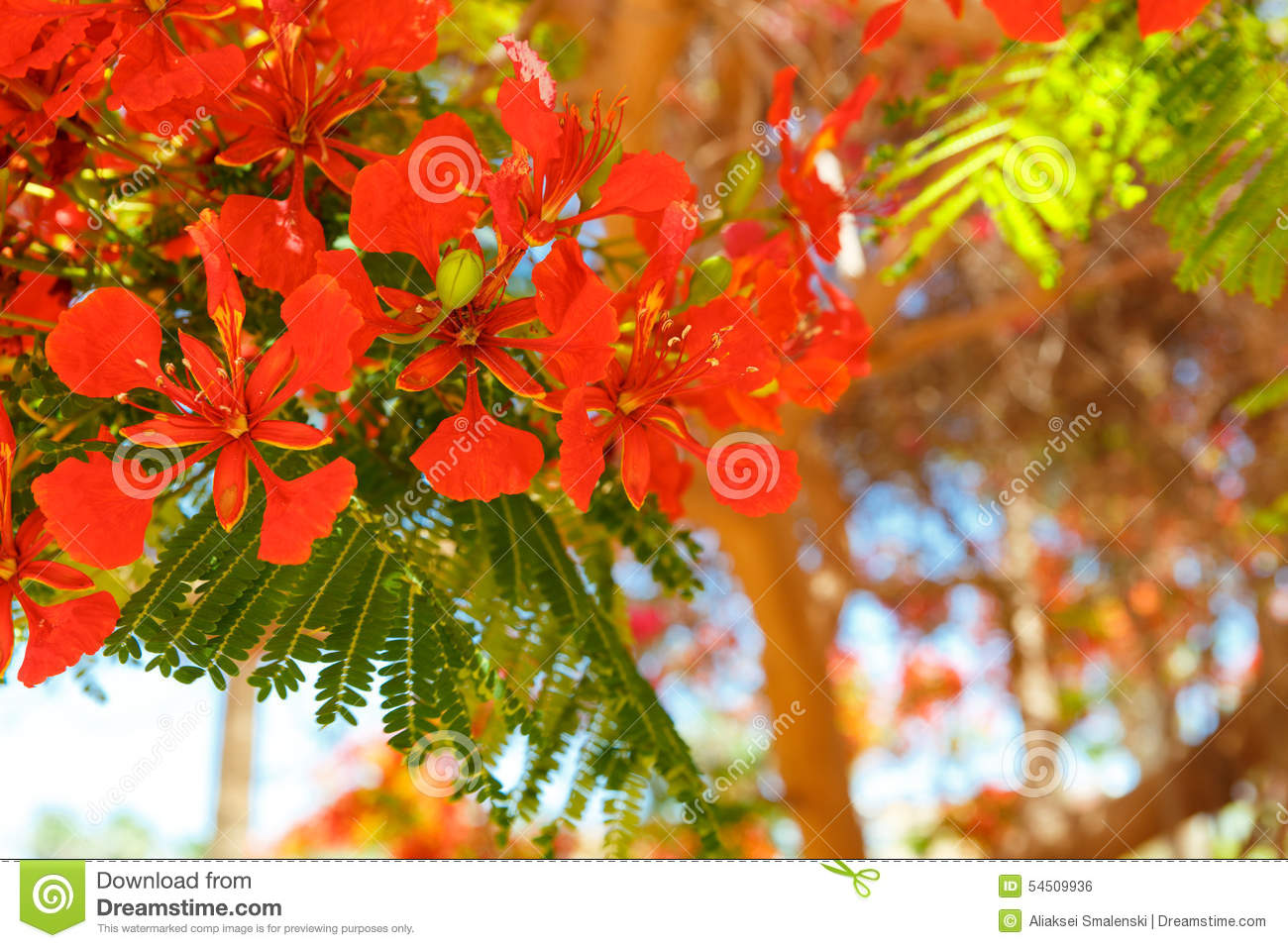 The Blooming Red Acacia Stock Photo Image Of Branch 54509936
