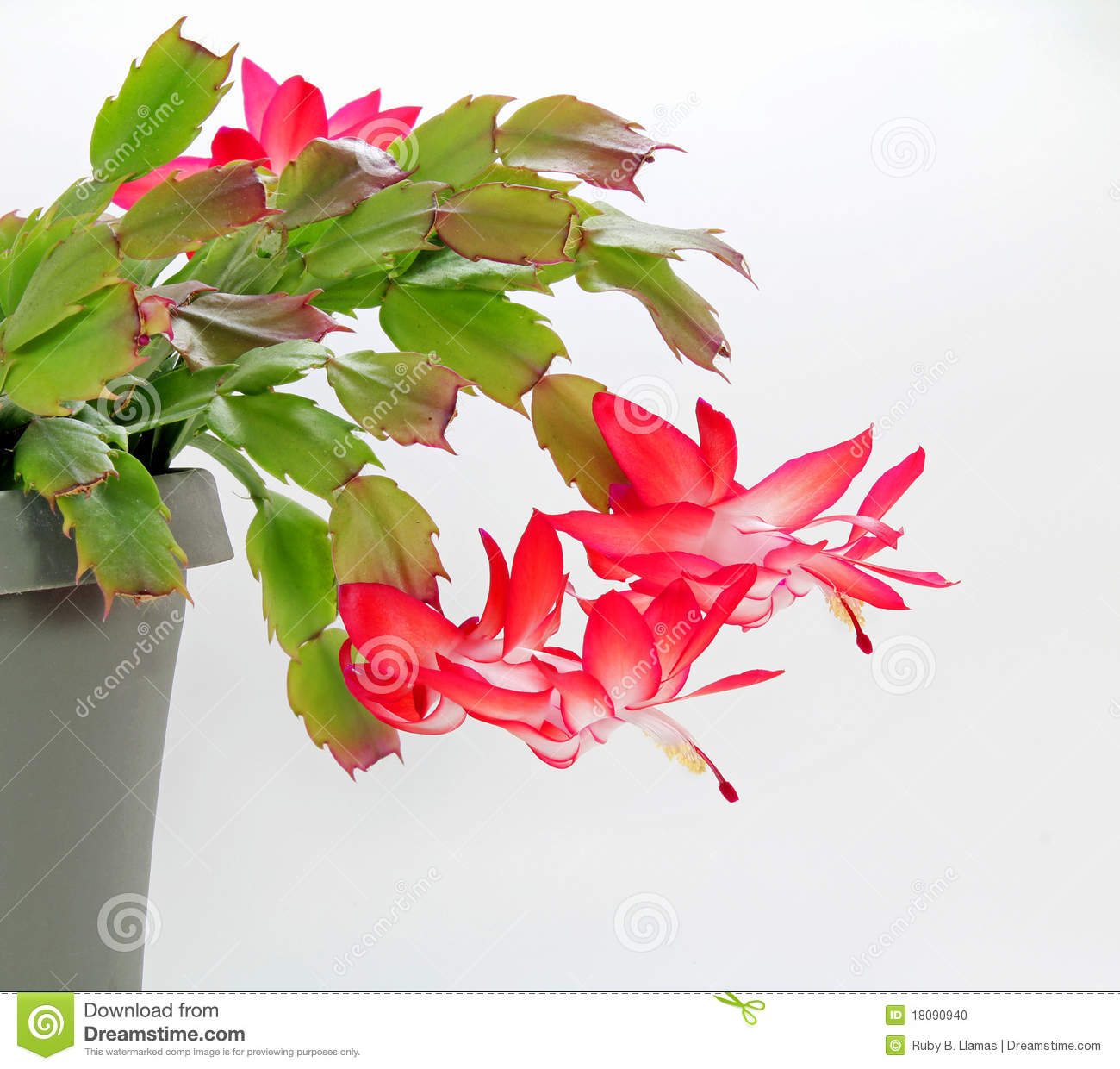 Blooming Red Christmas Cactus Schlumbergera Stock Photo