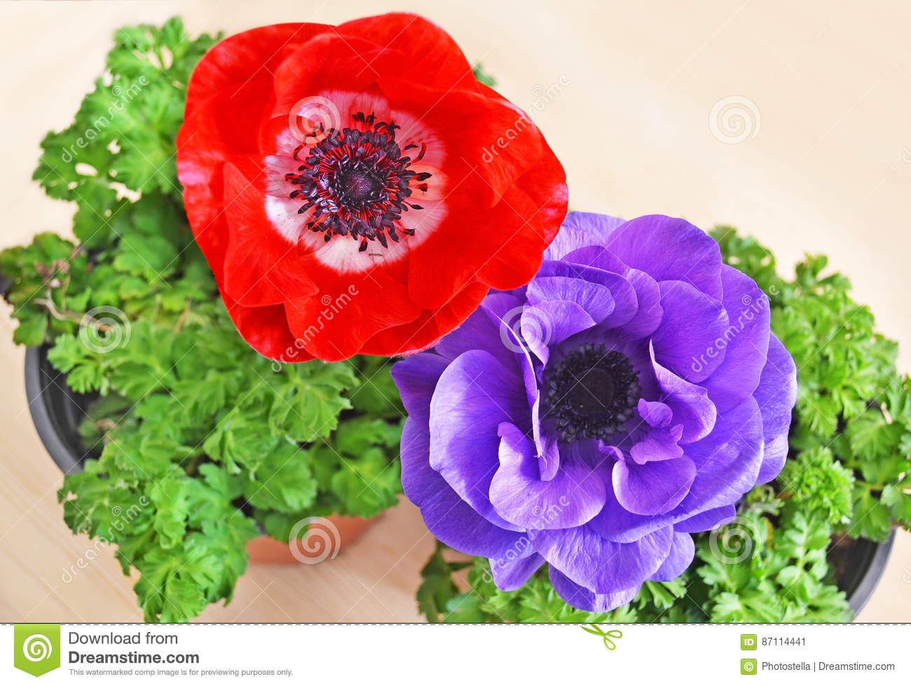 Blooming Red And Purple Anemones In Flower Pots Stock Image - Image ...