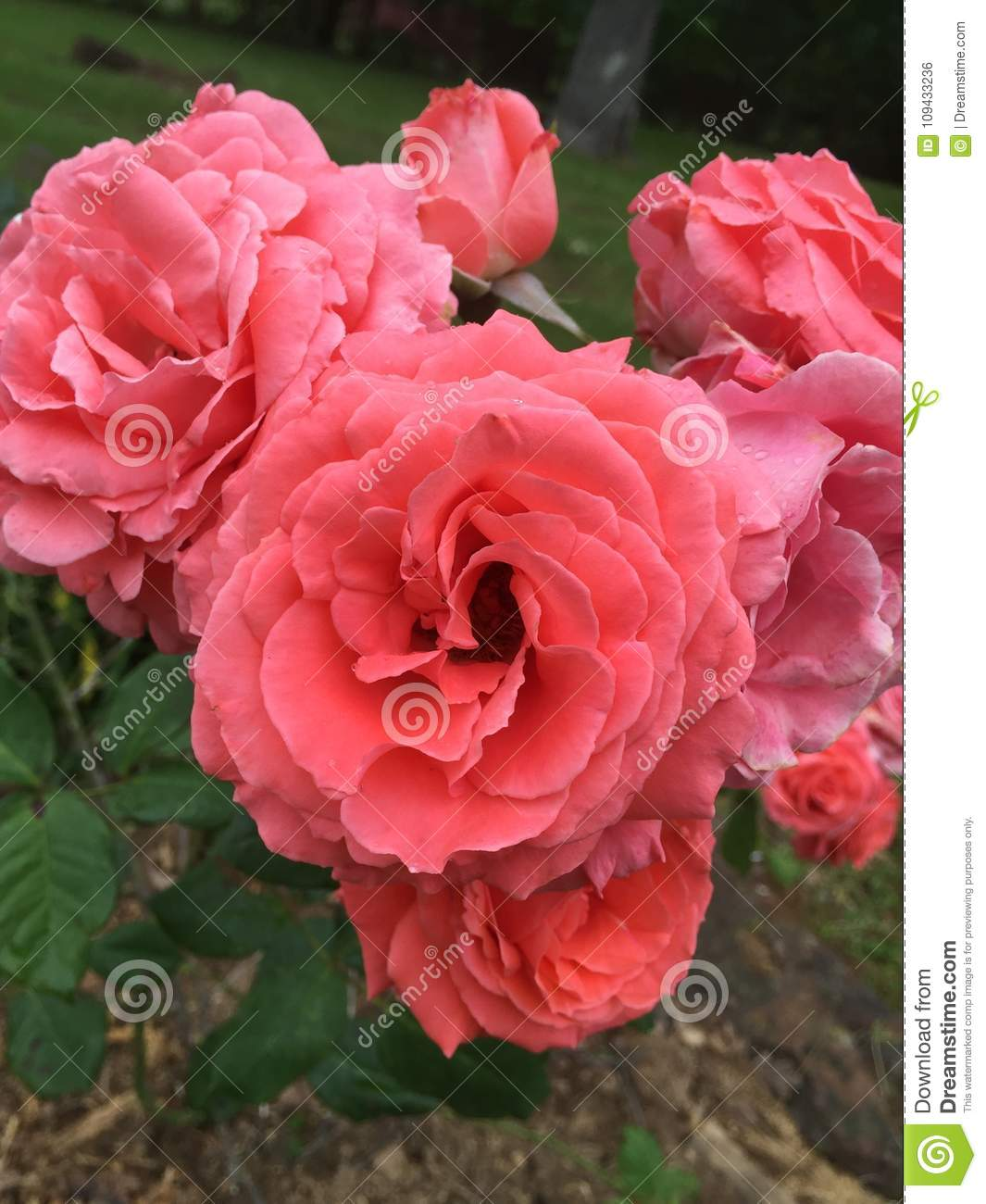 Blooming roses in a bouquet