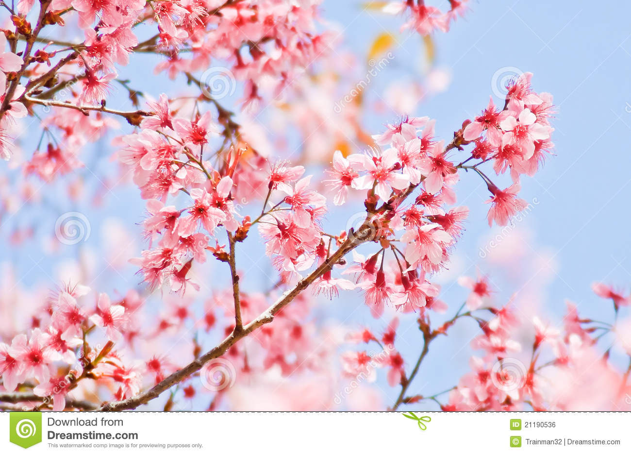 Blooming Sakura Flower...