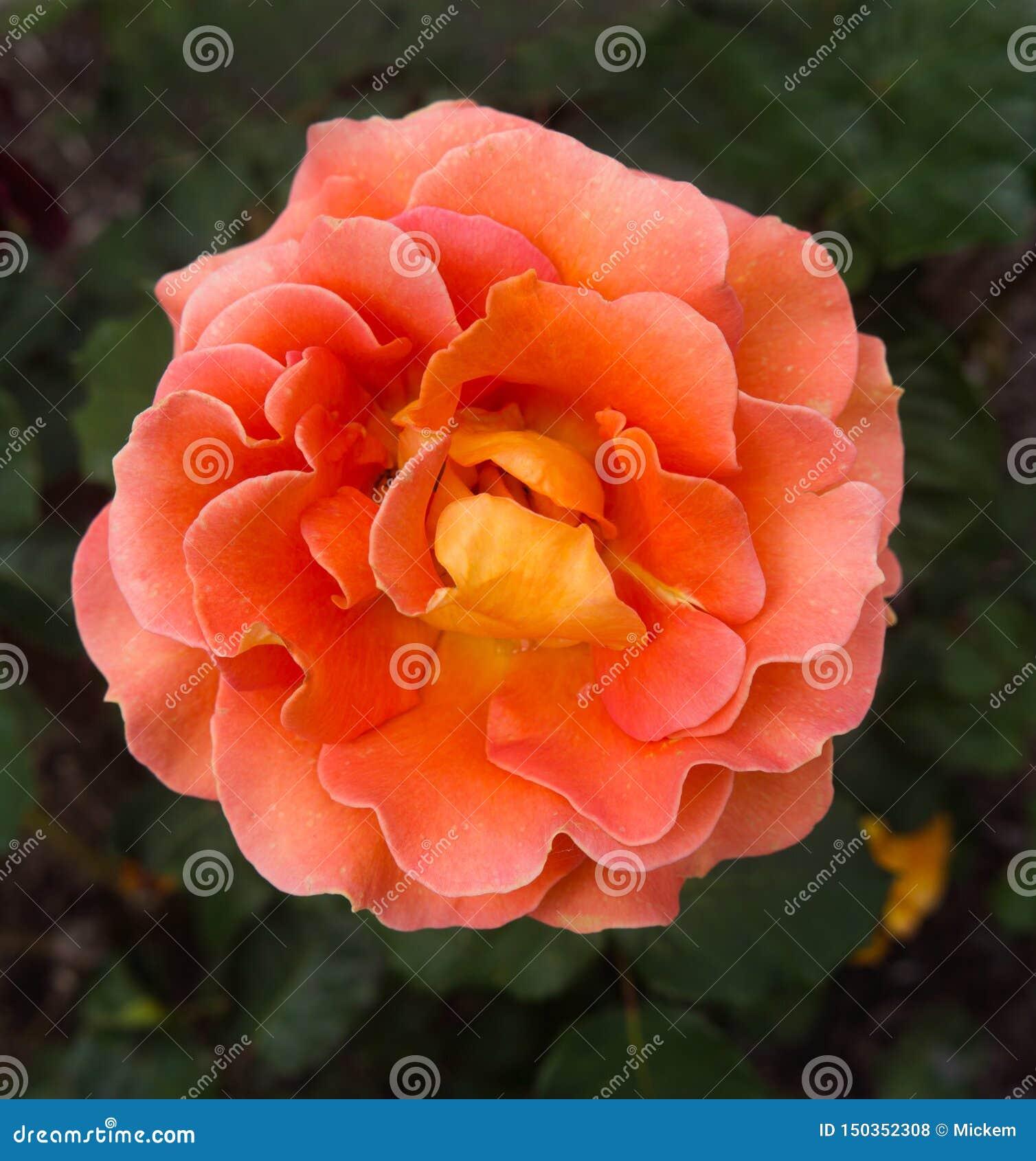Blooming Single Orange Rose in garden blurred background
