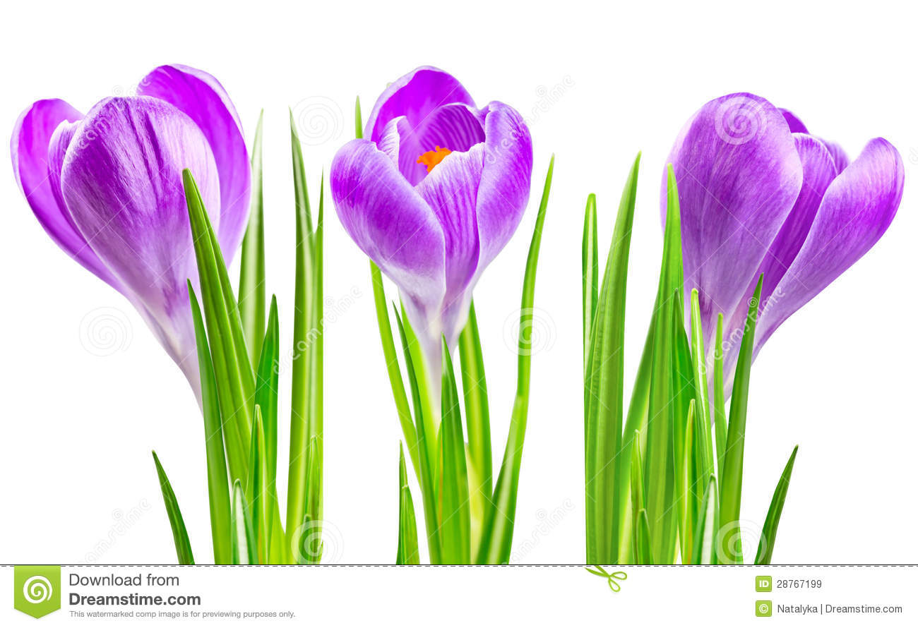 Blooming spring crocus flower stock image image of closeup petal blooming spring crocus flower mightylinksfo