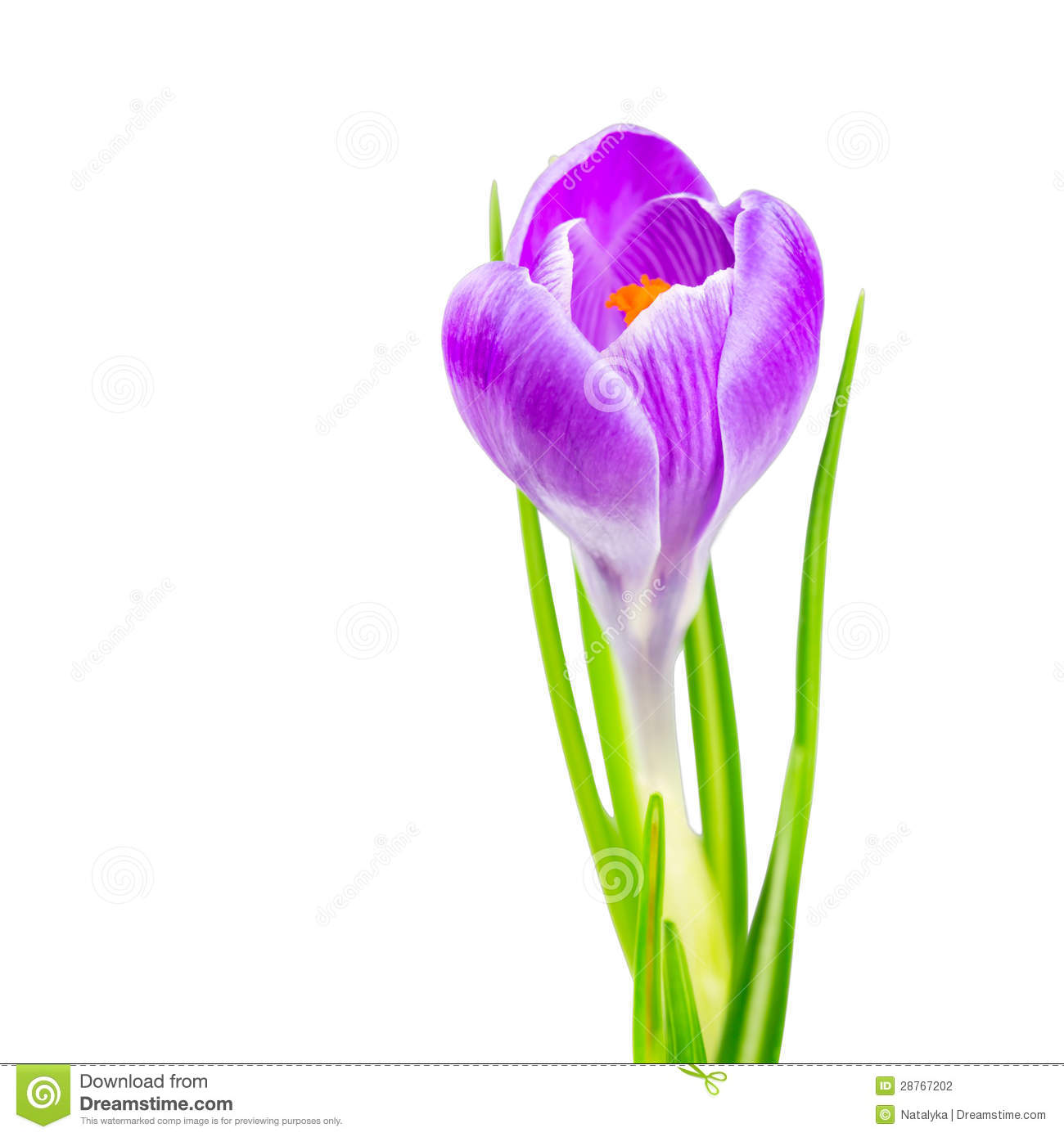 Blooming spring crocus flower stock photo image of flowers download blooming spring crocus flower stock photo image of flowers botanical 28767202 mightylinksfo