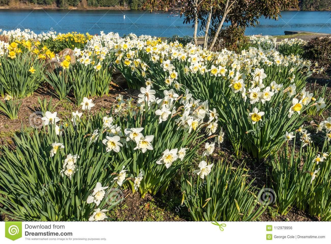 Blooming Spring Daffodils