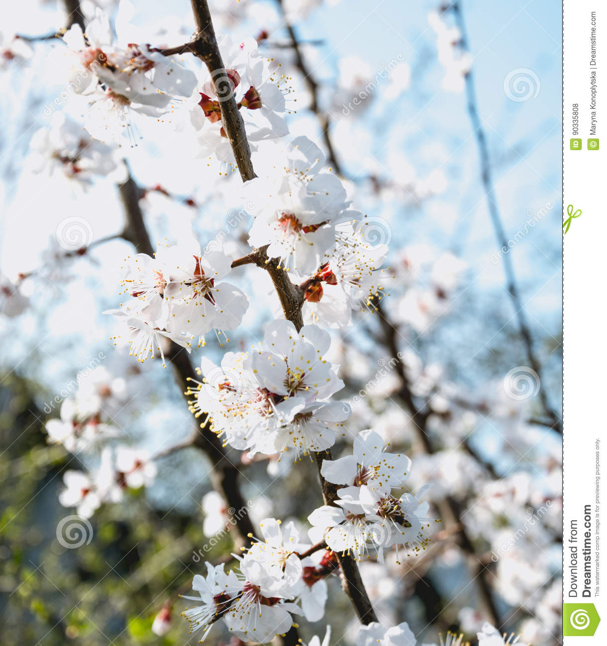 Blooming Spring Garden White Apricot Tree Flowers Stock Photo
