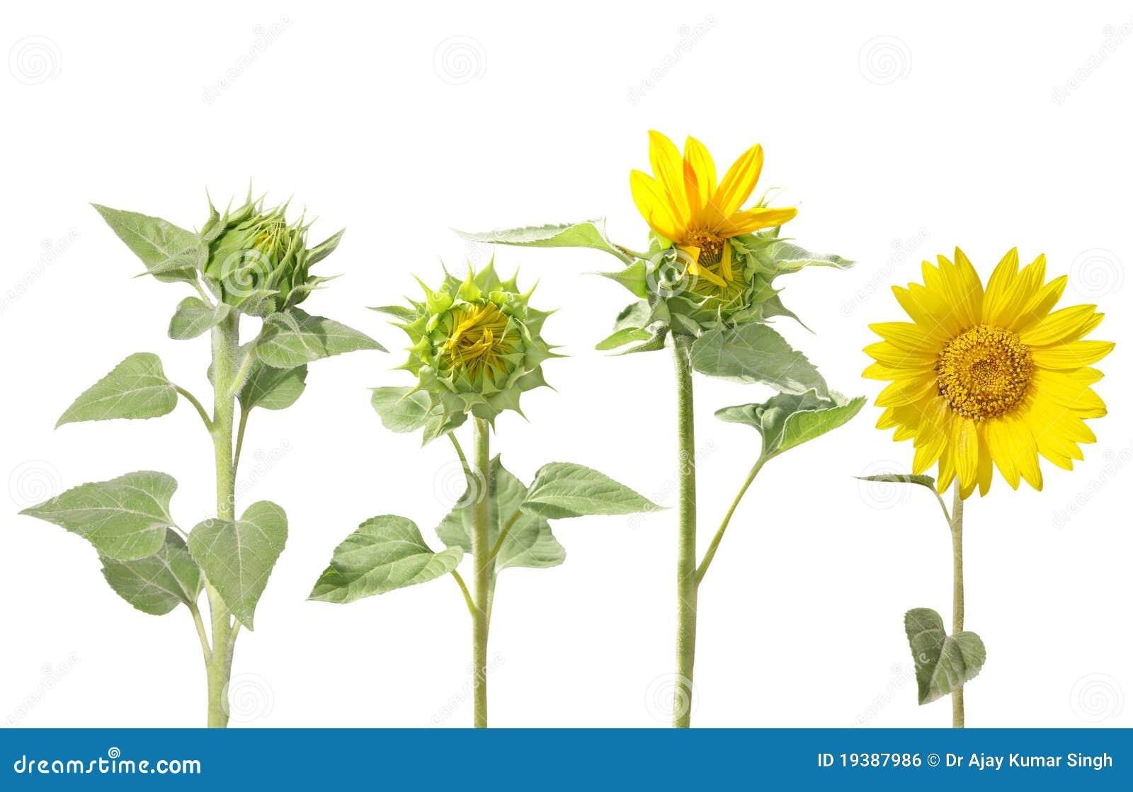 Sunflower Bud Photograph by Sheri McLeroy  |Sunflower Bud