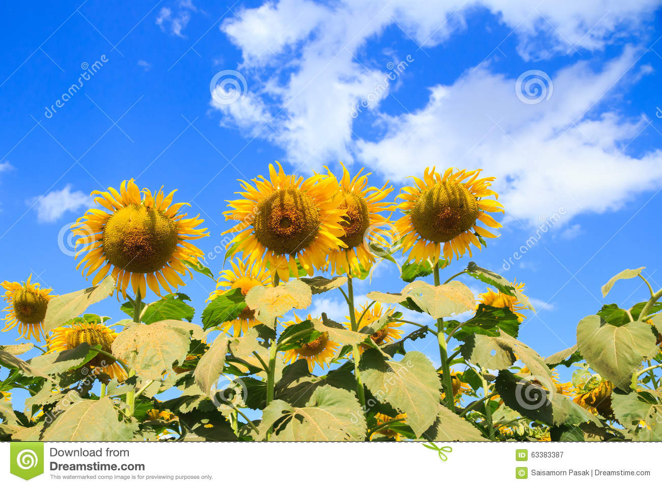 sunflower field picture blooming - photo #42