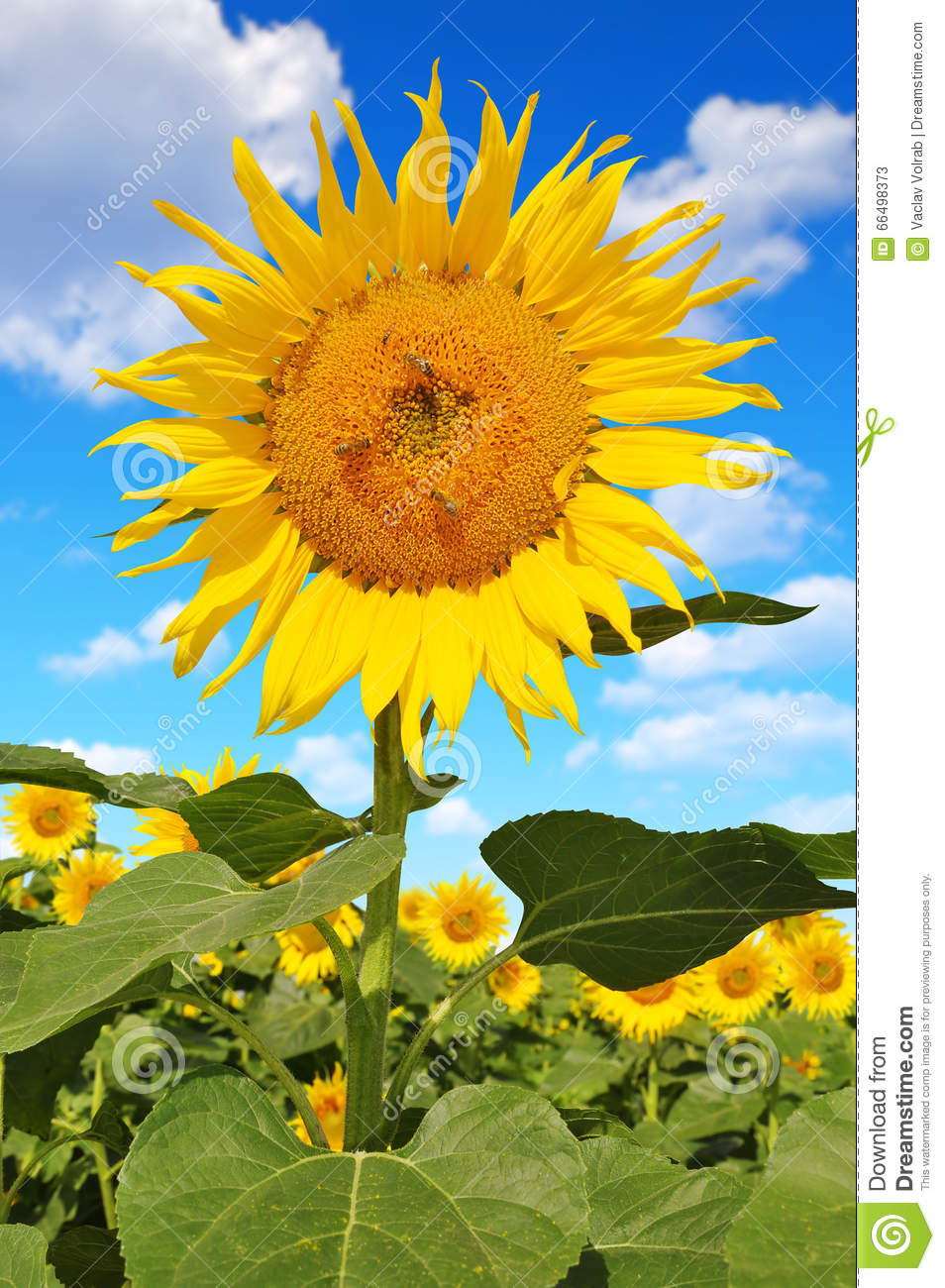 sunflower field picture blooming - photo #37
