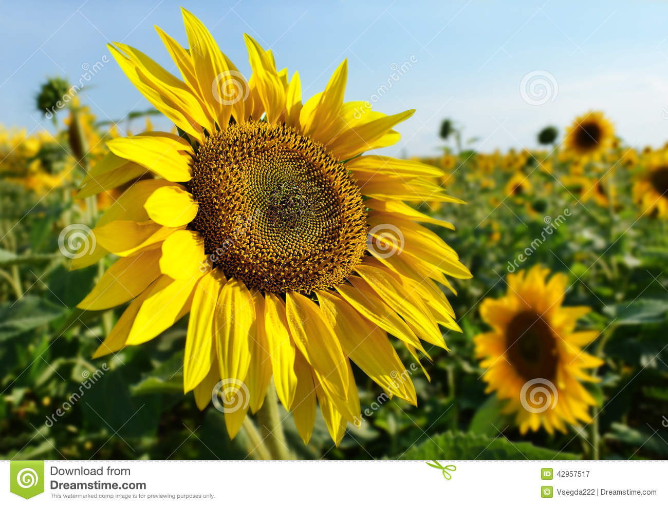 sunflower field picture blooming - photo #38