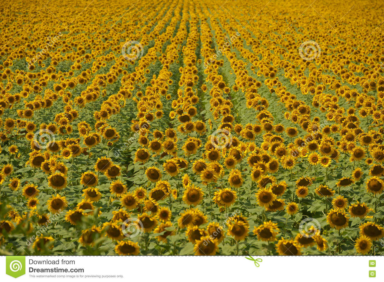 sunflower field picture blooming - photo #35