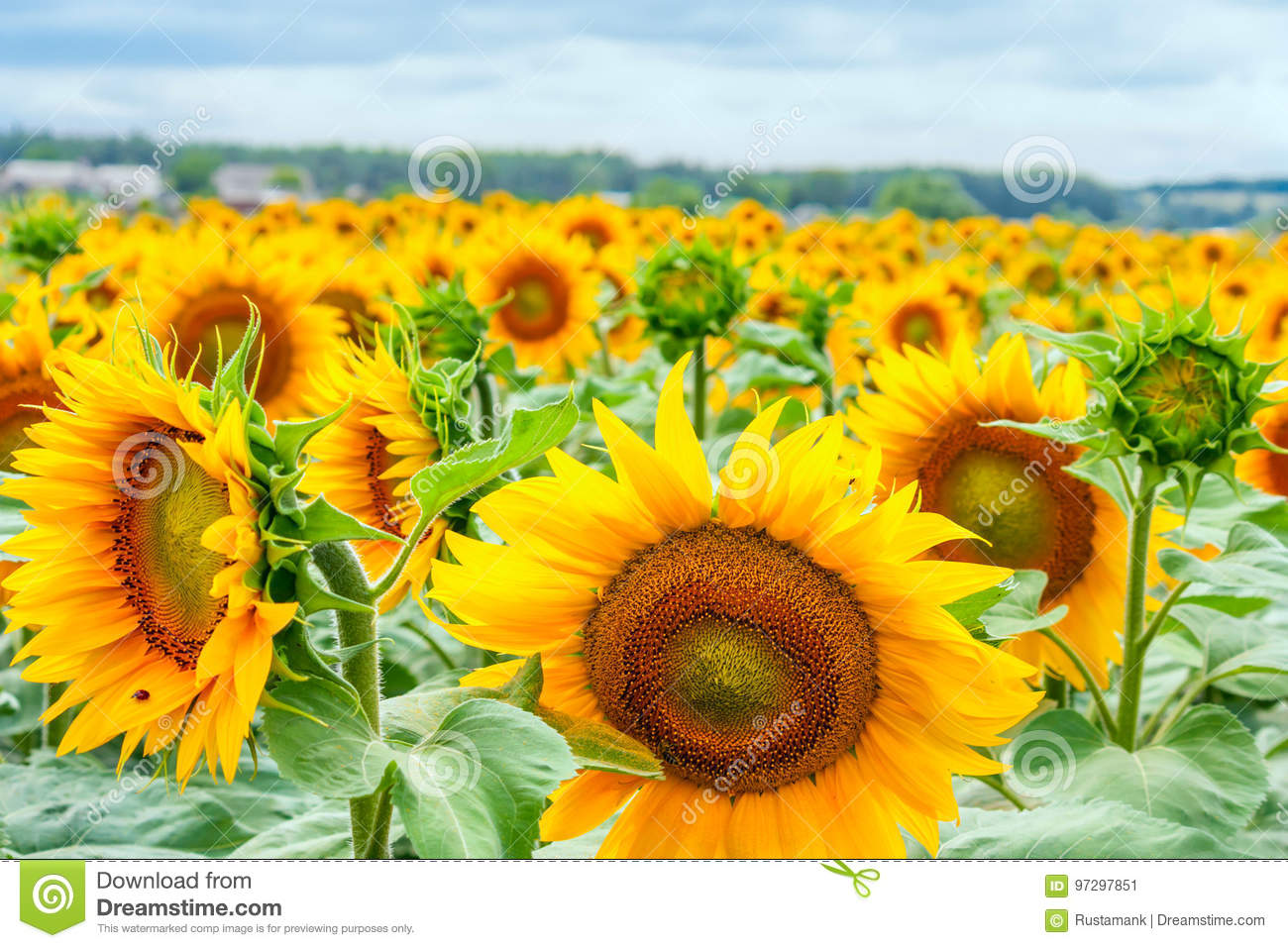 Blooming sunflowers and pollinating them honey bees