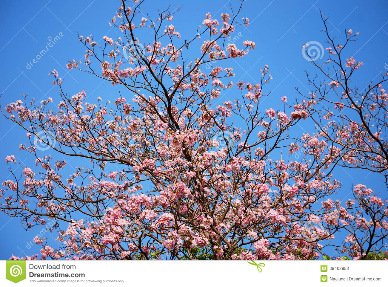 Blooming Of Tabebuia Stock Photos Image 38402853