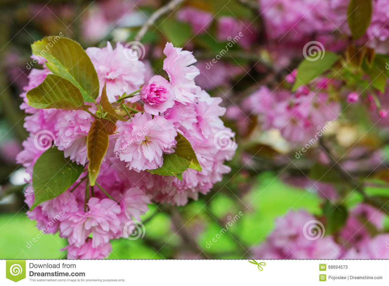 Blooming Tree Branches With Pink Flowers And Leaves Spring Stock