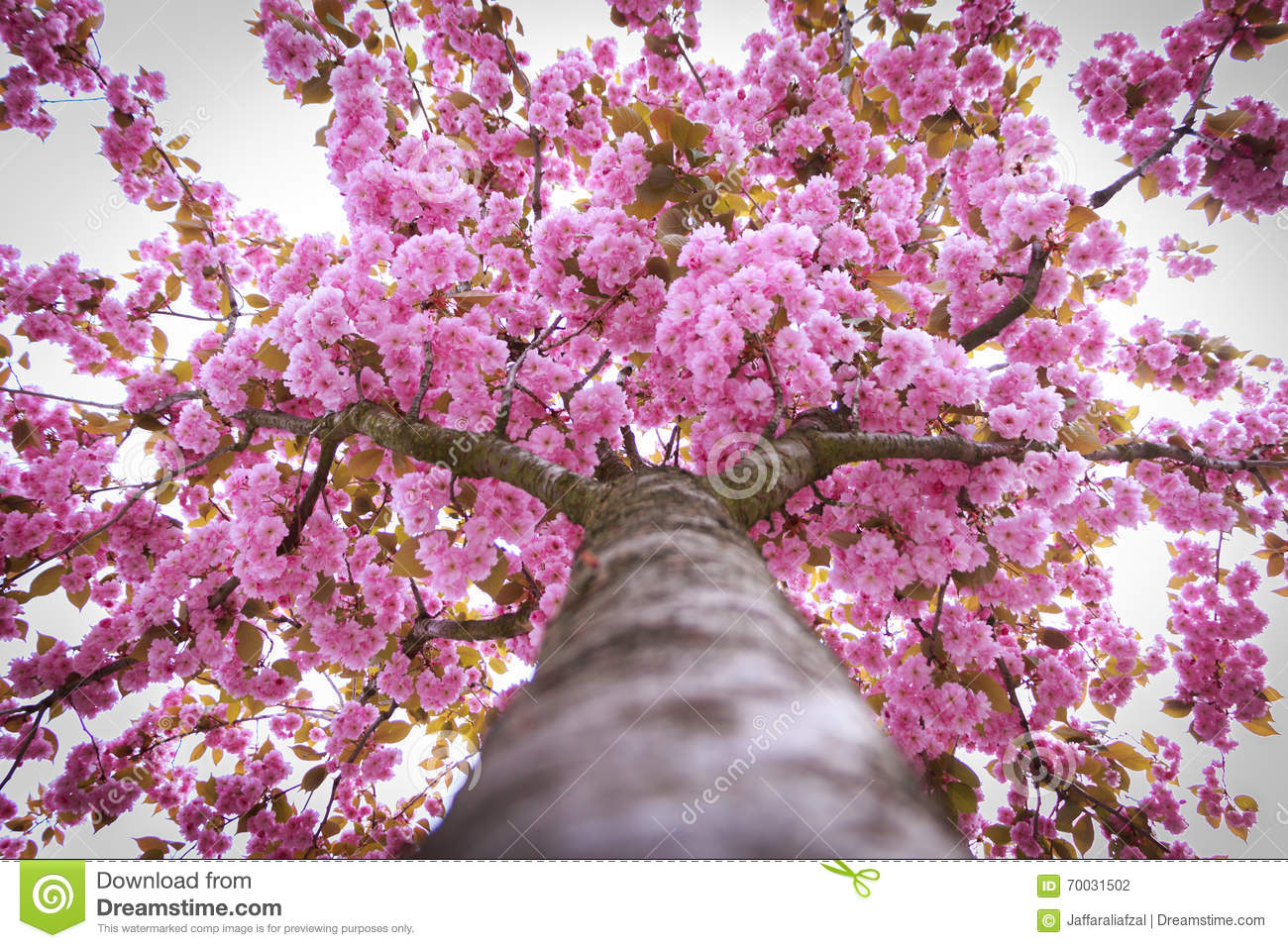 Blooming Tree Full Of Pink Flowers Spring Season Stock Photo