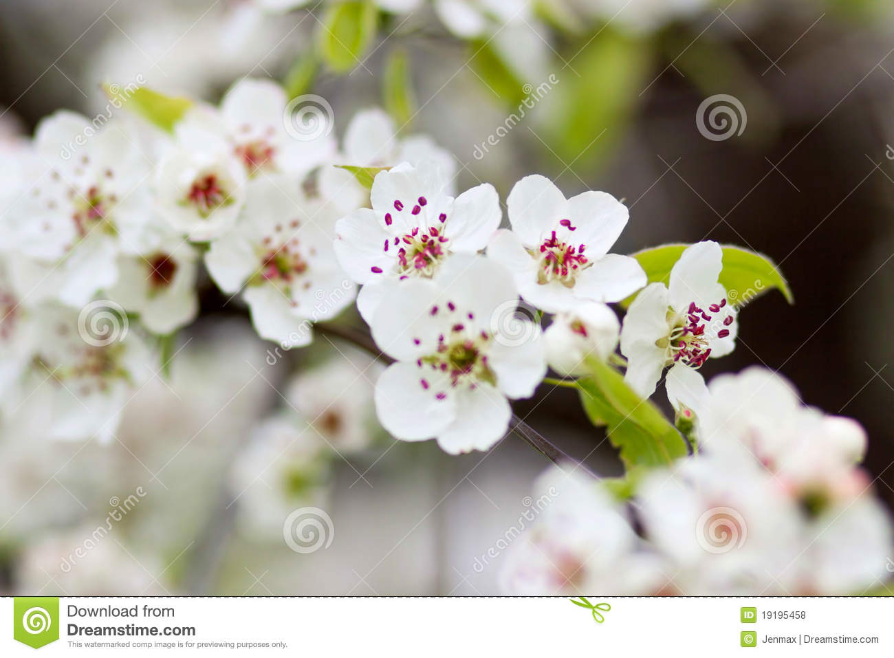 Blooming tree in spring with white flowers royalty free stock photos