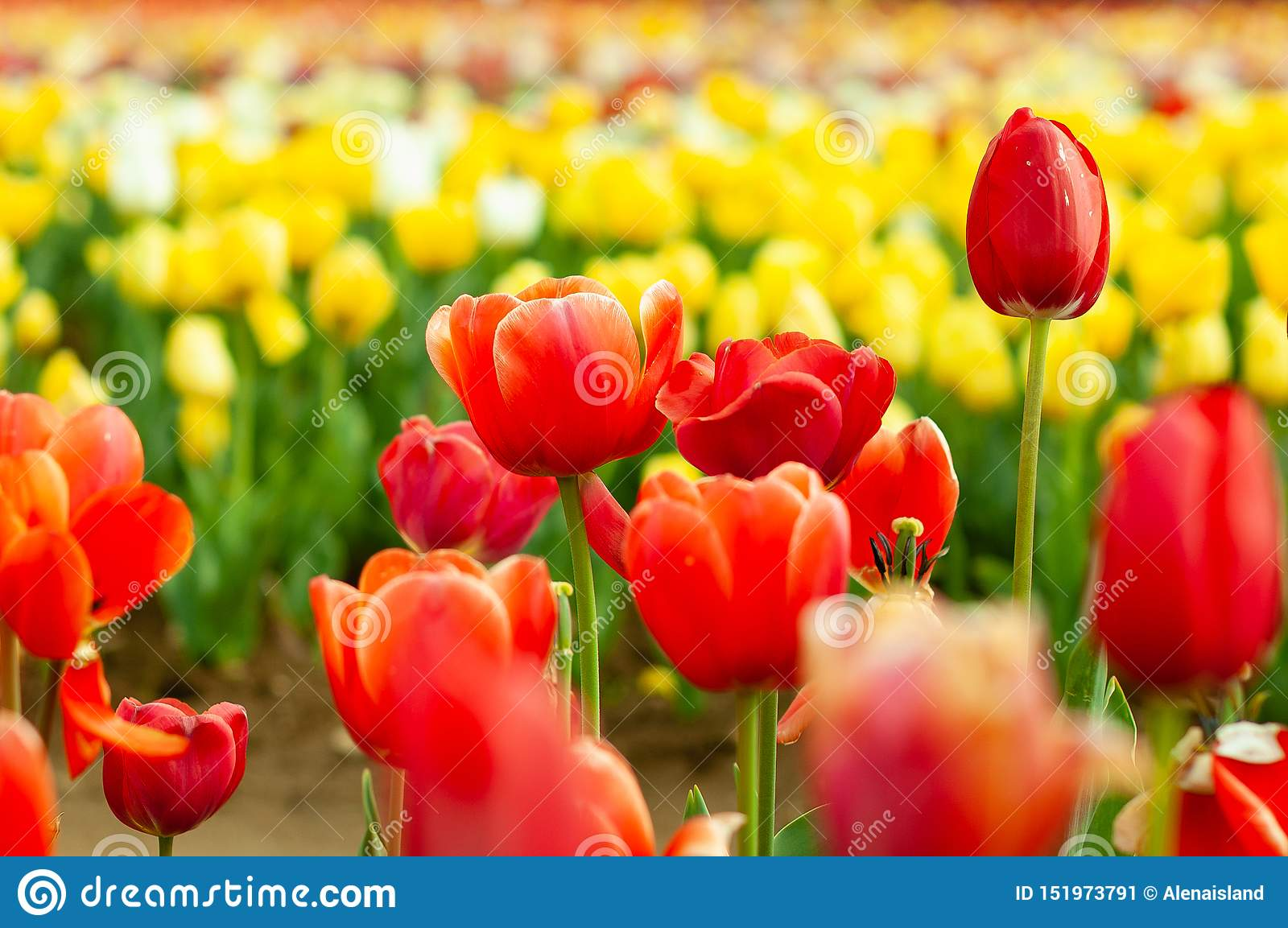Blooming tulip fields in Netherlands, flower with blurrred colorful tulips as background. Selective focus,tulip close up