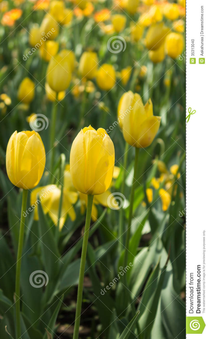 blooming tulips stock photo image of blooming park 35313040. Black Bedroom Furniture Sets. Home Design Ideas