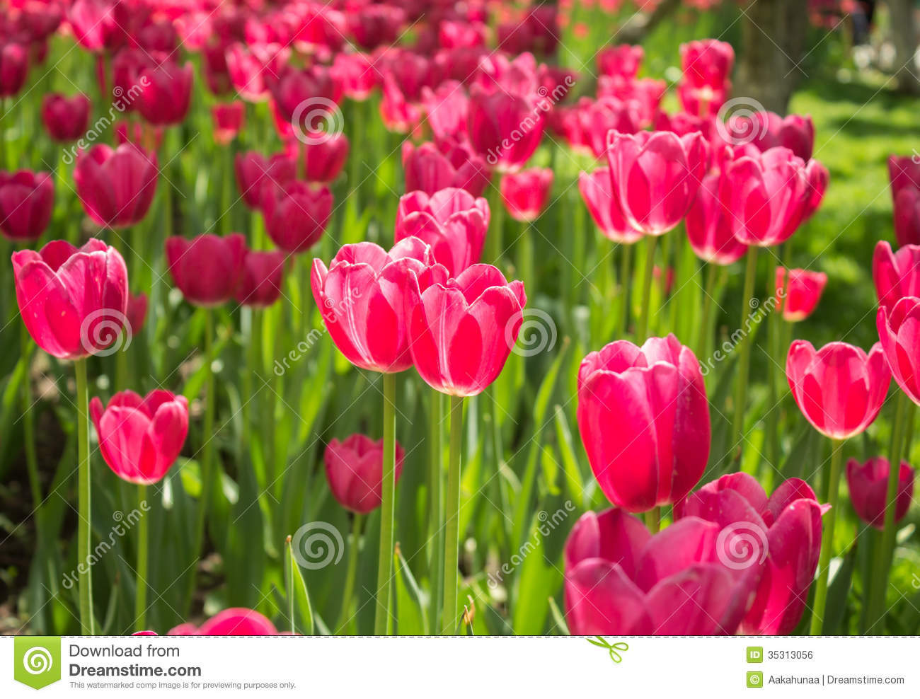 tulip flower meaning  flower, Natural flower