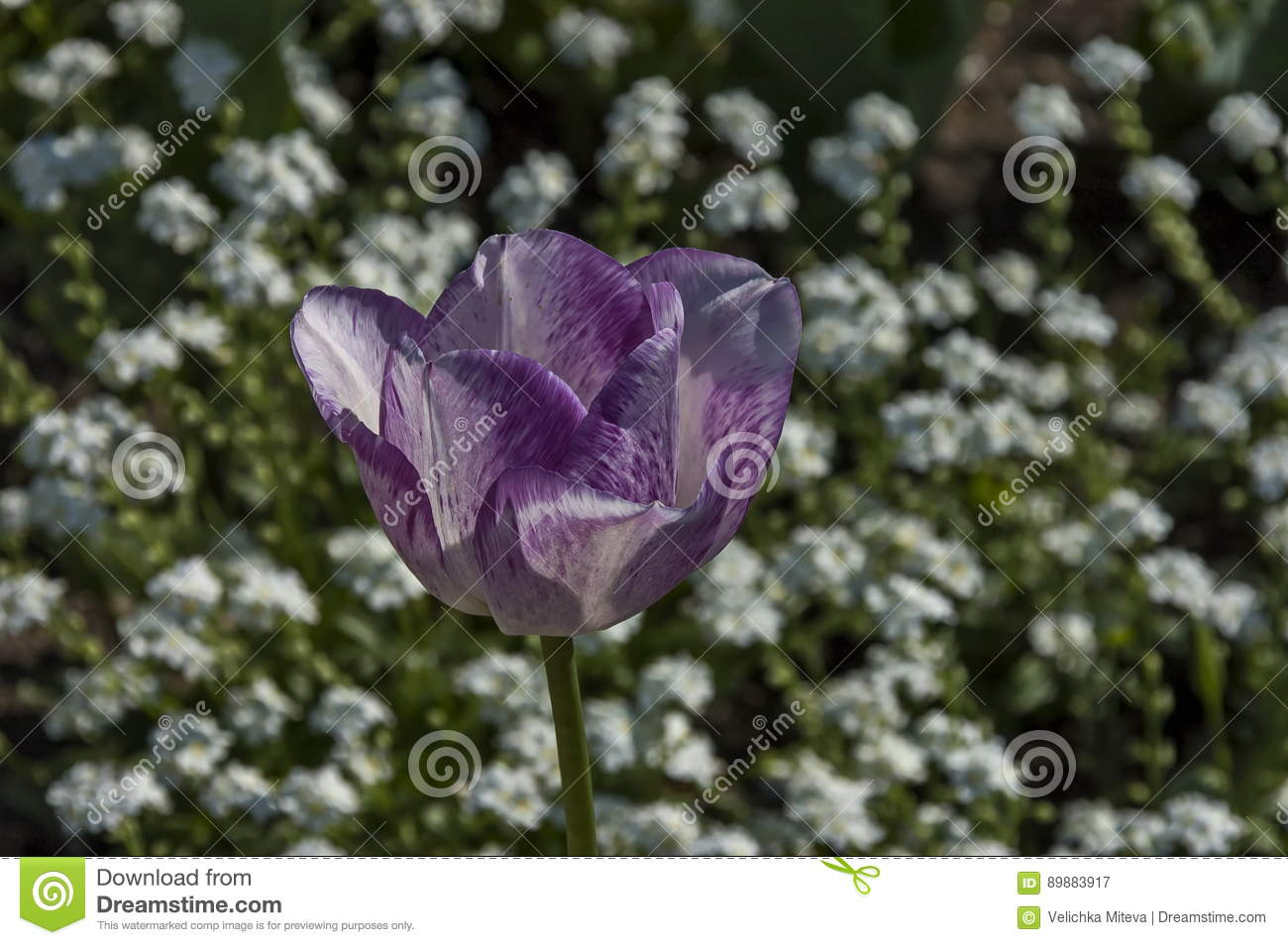 The Blooming Variegated Tulips And White Forget Me Not Flowers