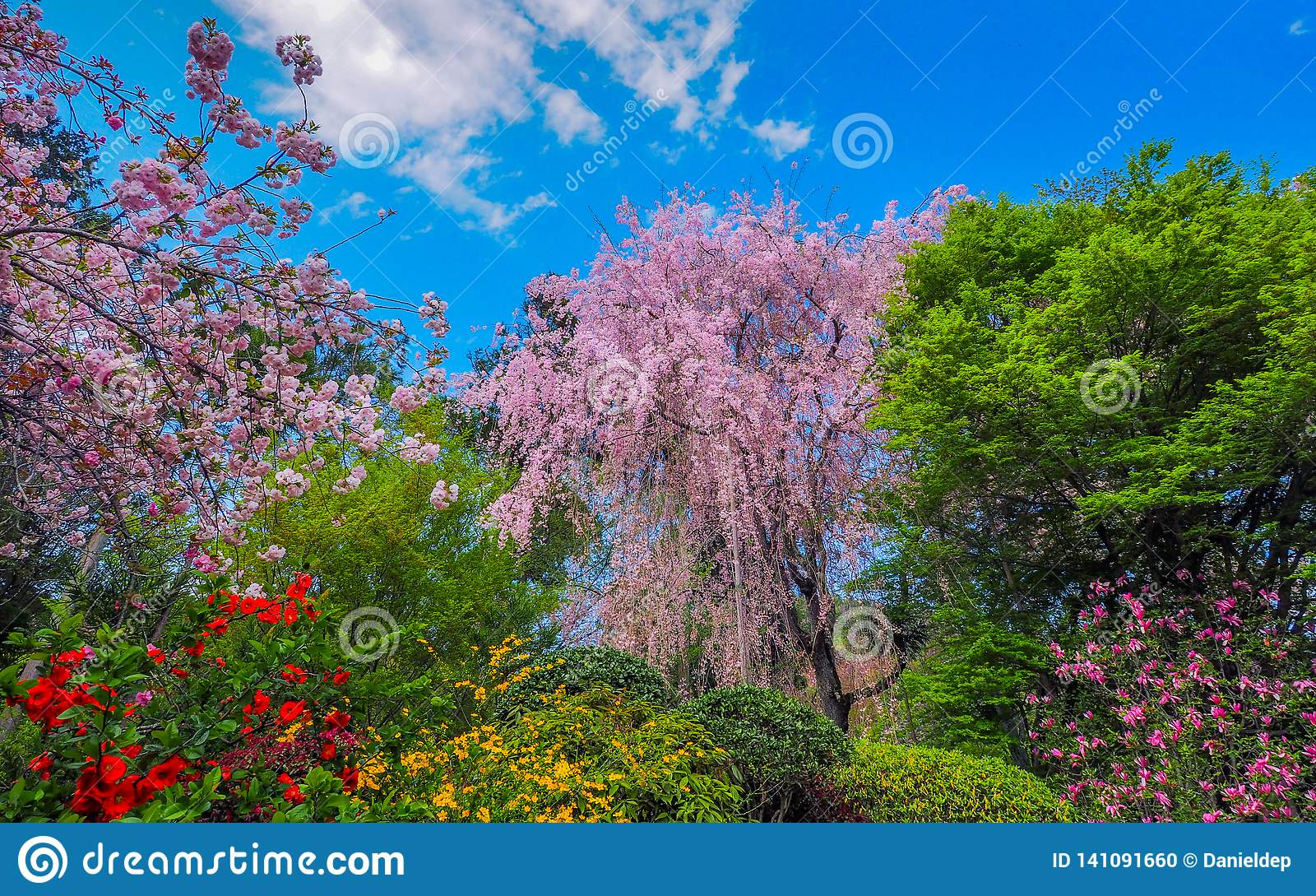 Blooming Weeping Cherry Tree Stock Photo Image Of Majestic