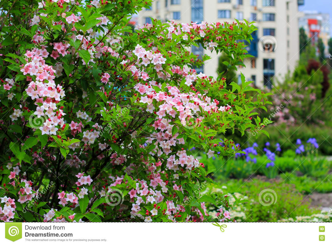 Blooming Weigela Shrub With Pink Flowers Stock Image Image Of