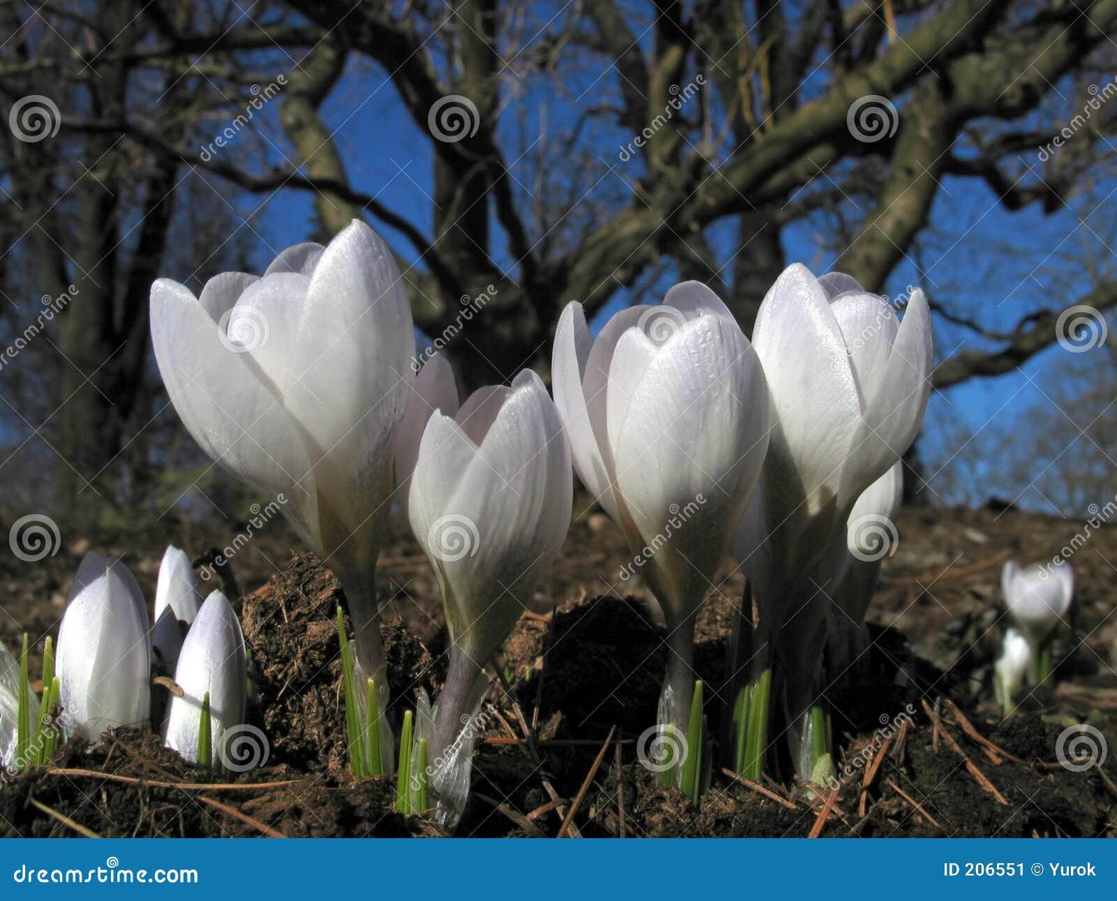 Blooming white crocuses