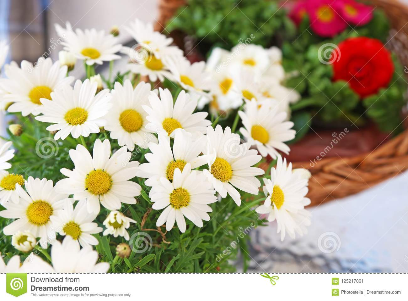 blooming white daisies spring flowers blossom nature stock image