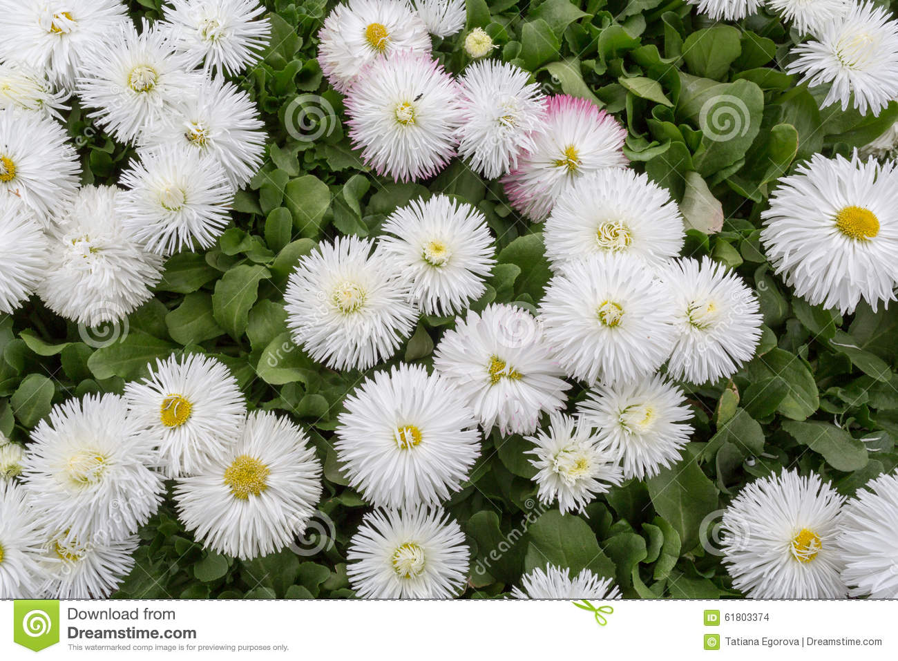 Blooming White Flowers On A Bed Of Daisies Stock Photo Image Of