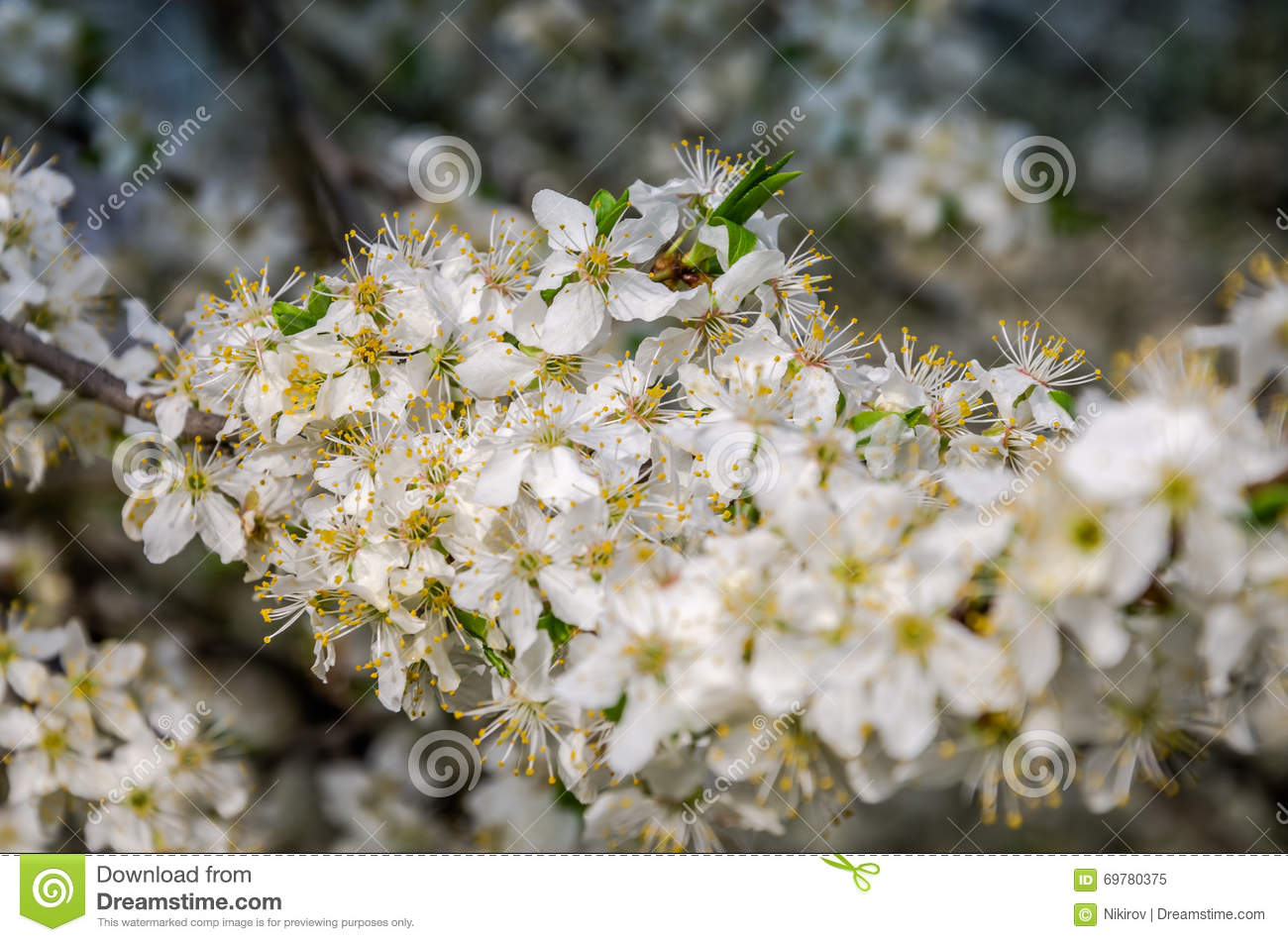 Blooming White Flowers In Early Spring Apple Tree In The Garden In
