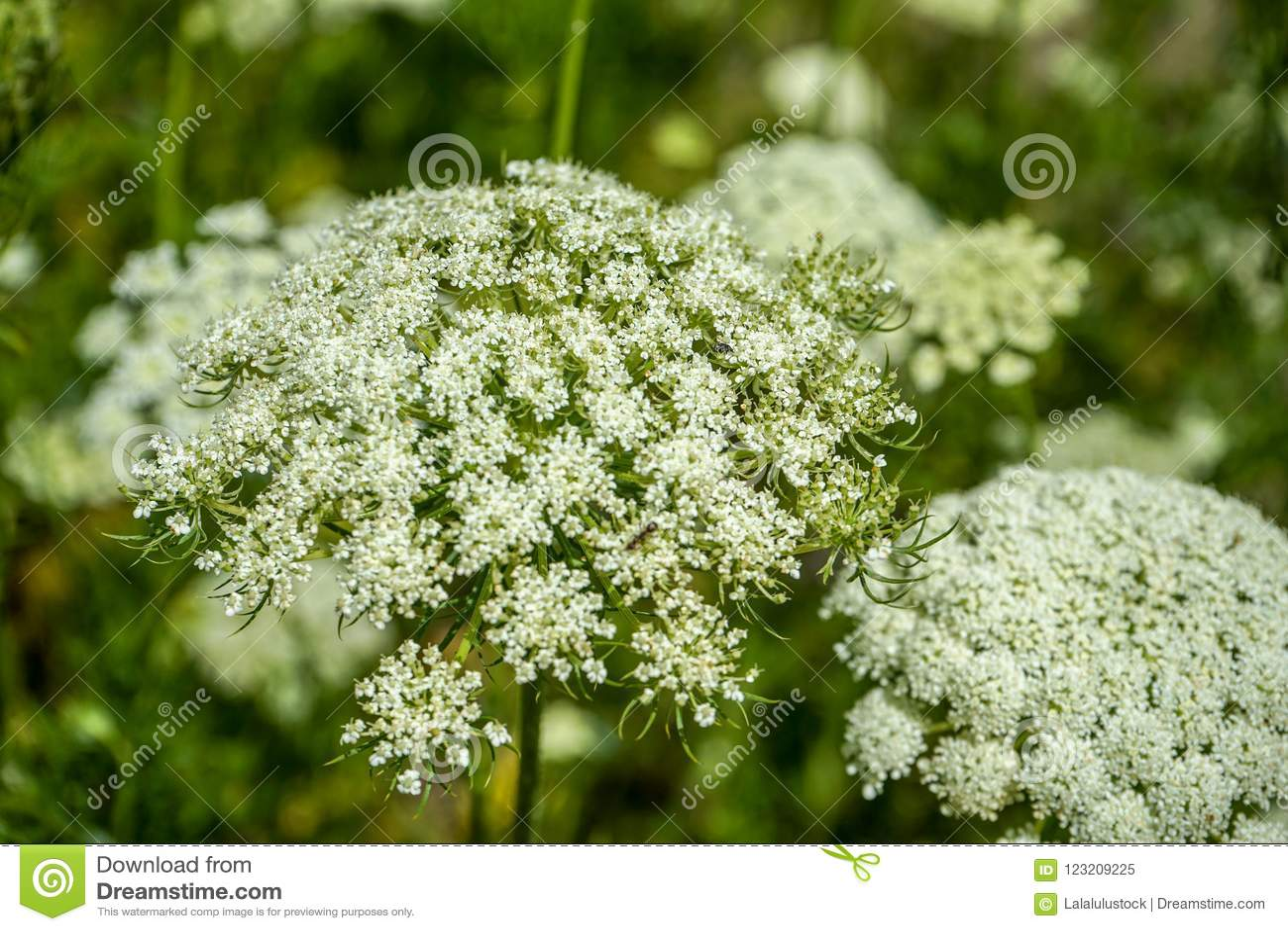 Fiori Selvatici Bianchi.Blooming White Flowers Of Wild Carrot Daucus Carota Stock Image