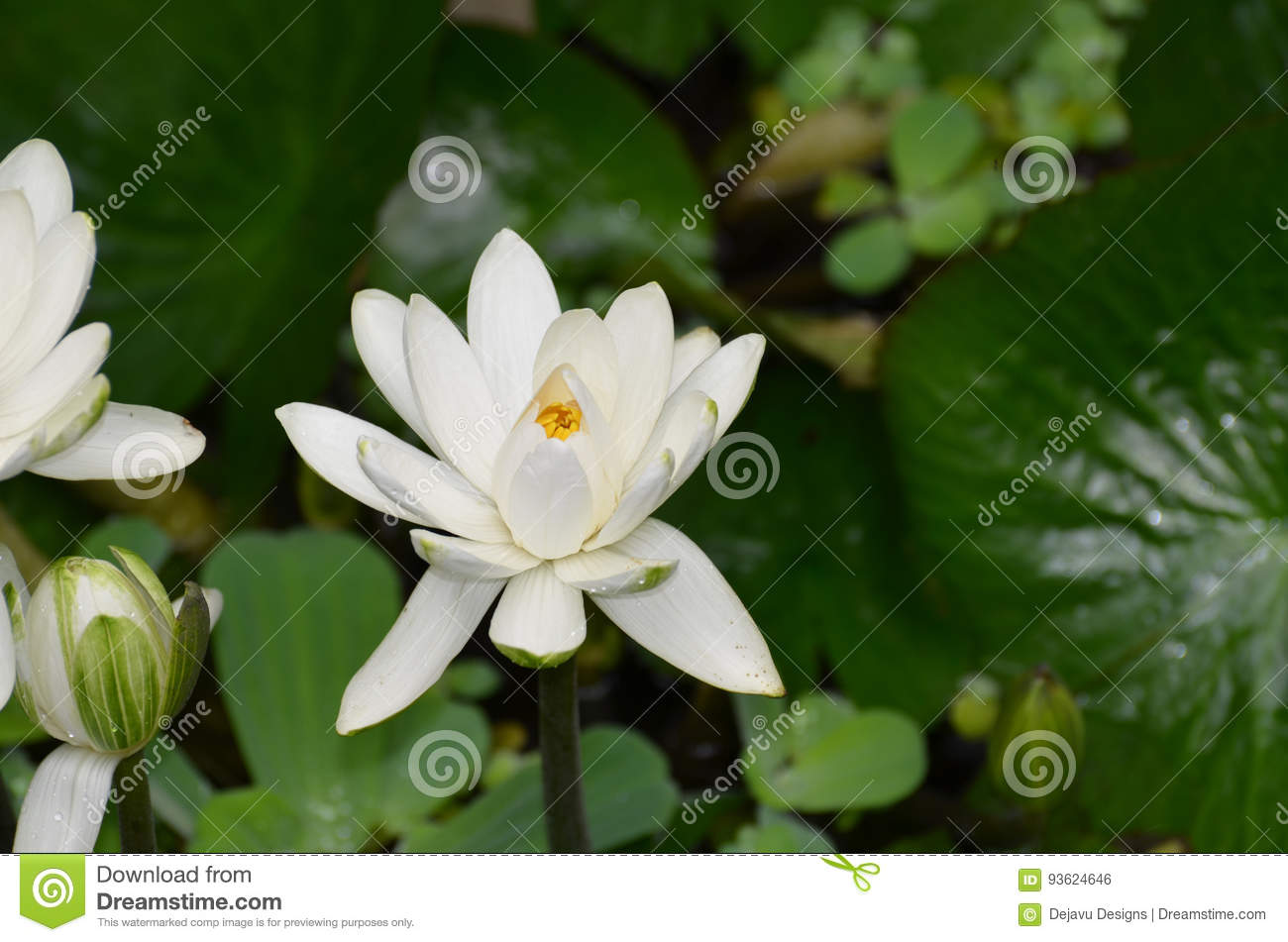 blooming white indian lotus flower in a water garden stock photo