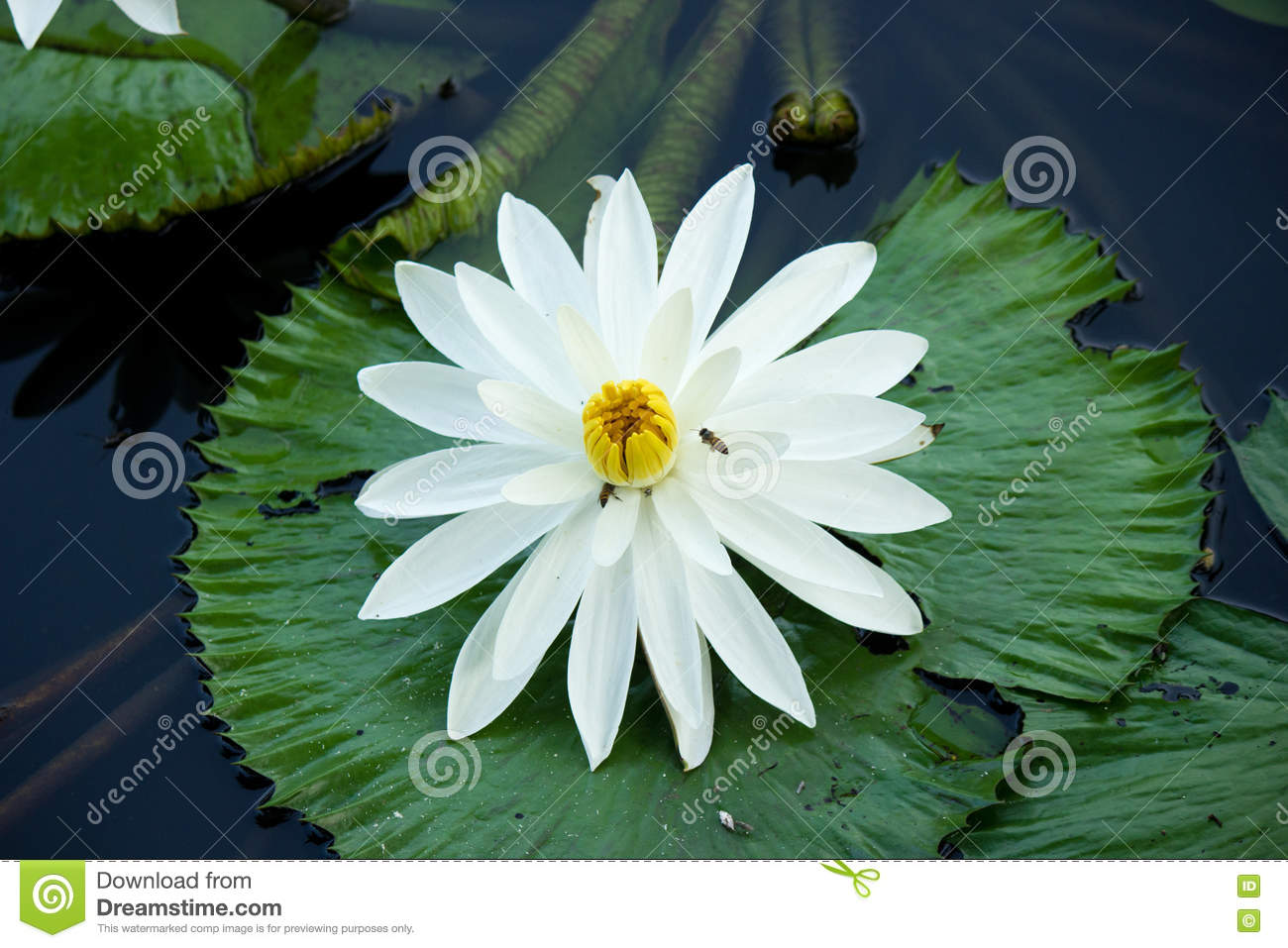 Blooming White Lotus Flower Stock Image Image Of Insect Colour