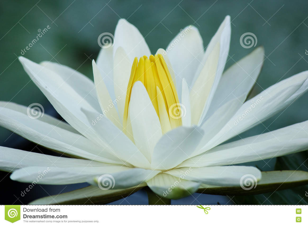 Blooming white lotus flower stock photo image of colour blooming the white lotus blooming beautifulpurify flower with white colour and yellow izmirmasajfo