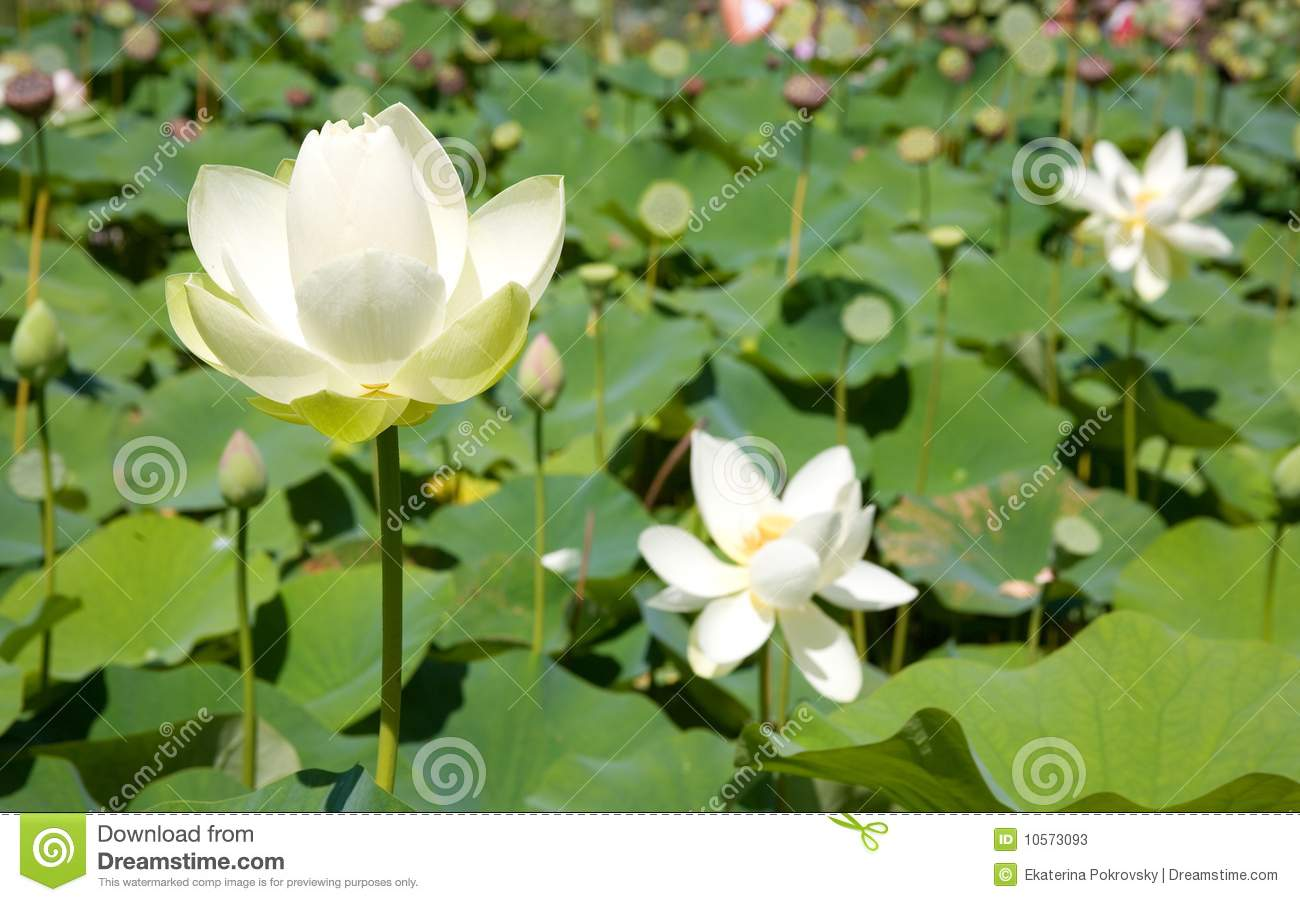 Blooming White Lotus Flowers Stock Image Image Of White Aquatic